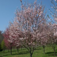 Autumnalis Cherry