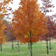 Legacy Sugar Maple