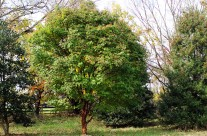 Trees We Love – Paperbark Maple