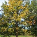 Burr Oak entire tree fall color