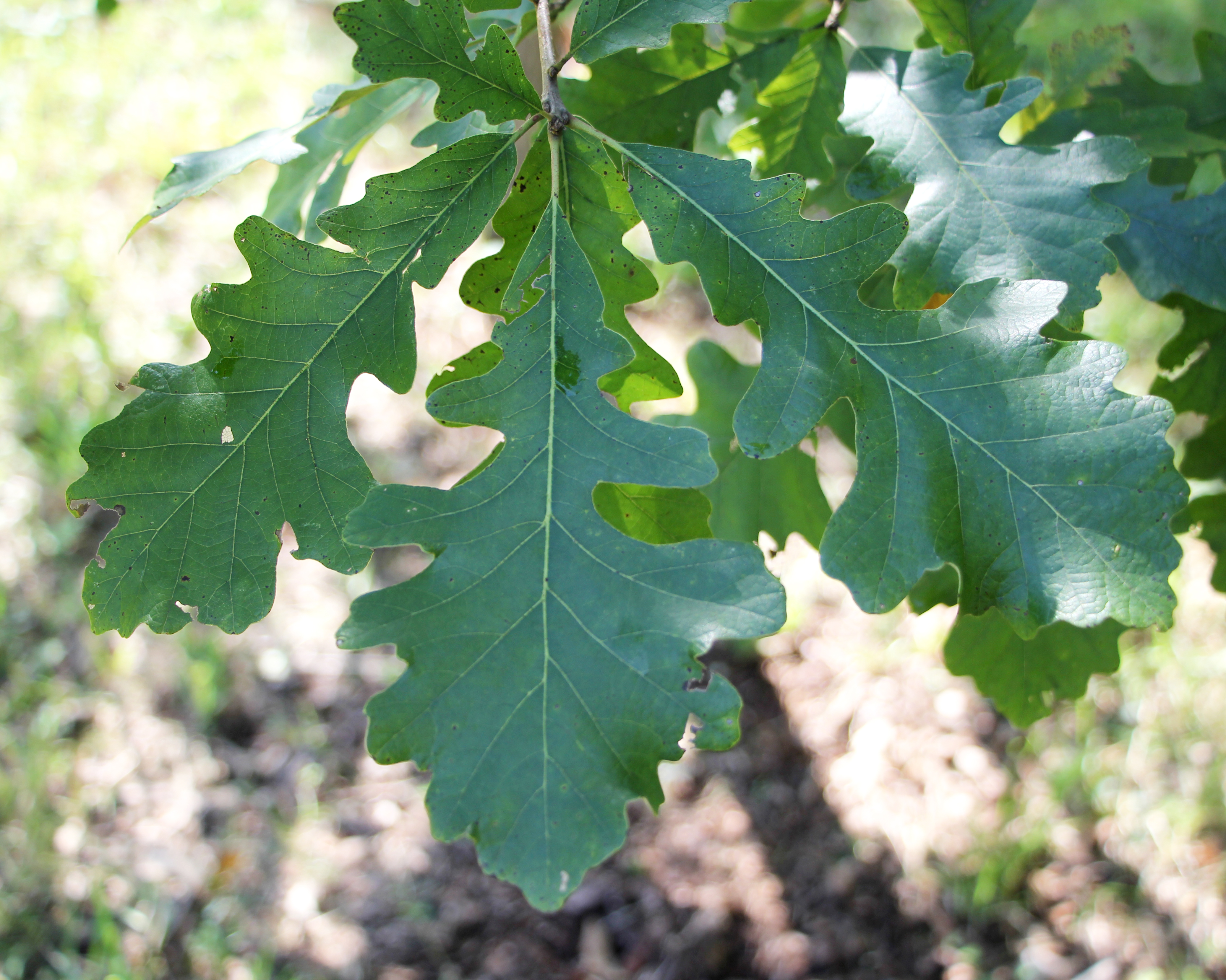 burr oak Burr oak will be part of the musical line up for the music, art, & cars festival, on saturday june 23rd the schedule has not yet been finalized, but there will be.