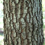 Willow Oak bark detail