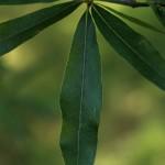willow oak leaf detail