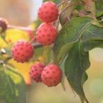 Kosa Dogwood Fruit