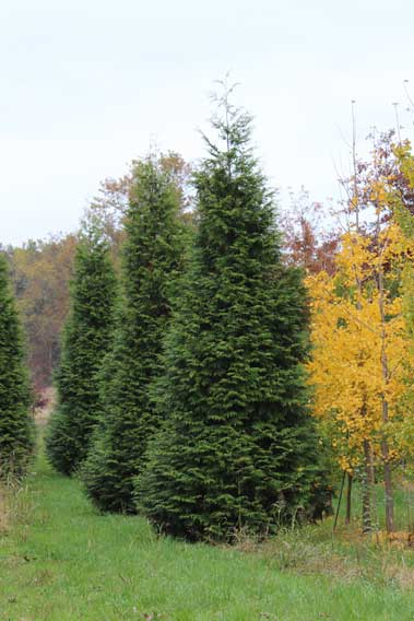 Evergreen green giant arborvitae thuja x 39 green giant for Green giant arborvitae