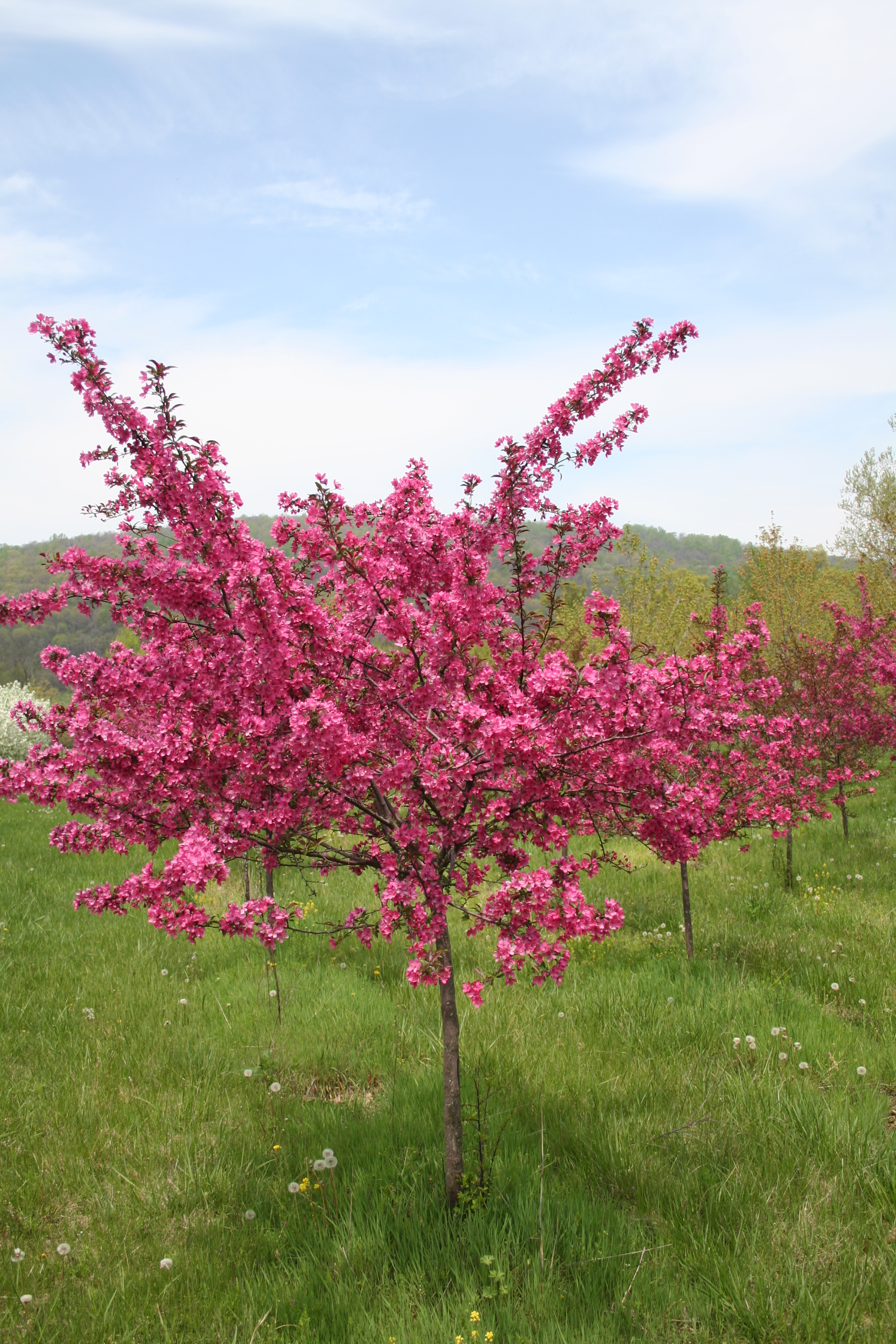Brandywine crabapple shade tree farm shade tree farm for Crabapple tree