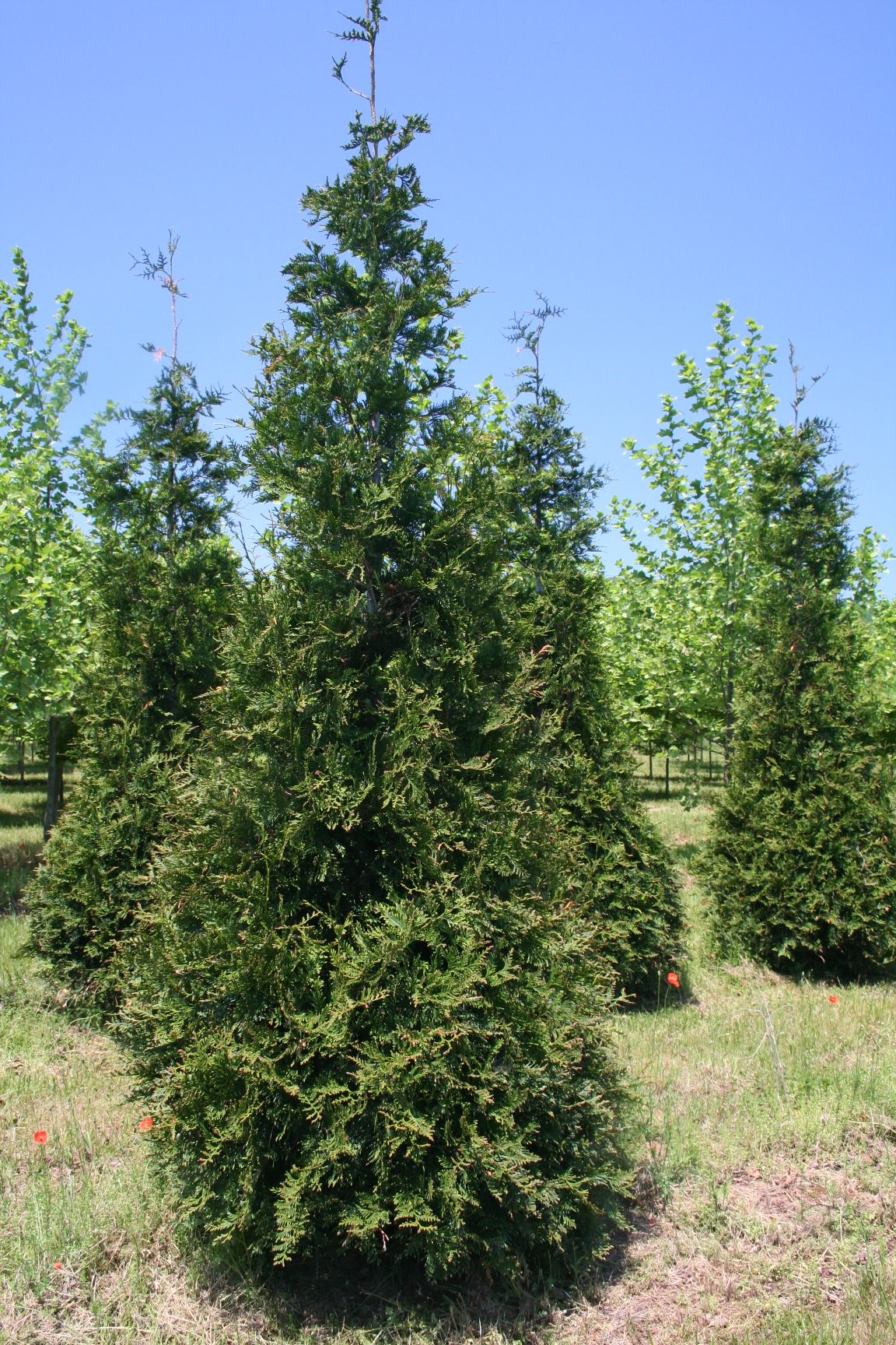 Evergreen trees shade tree farm for The evergreen