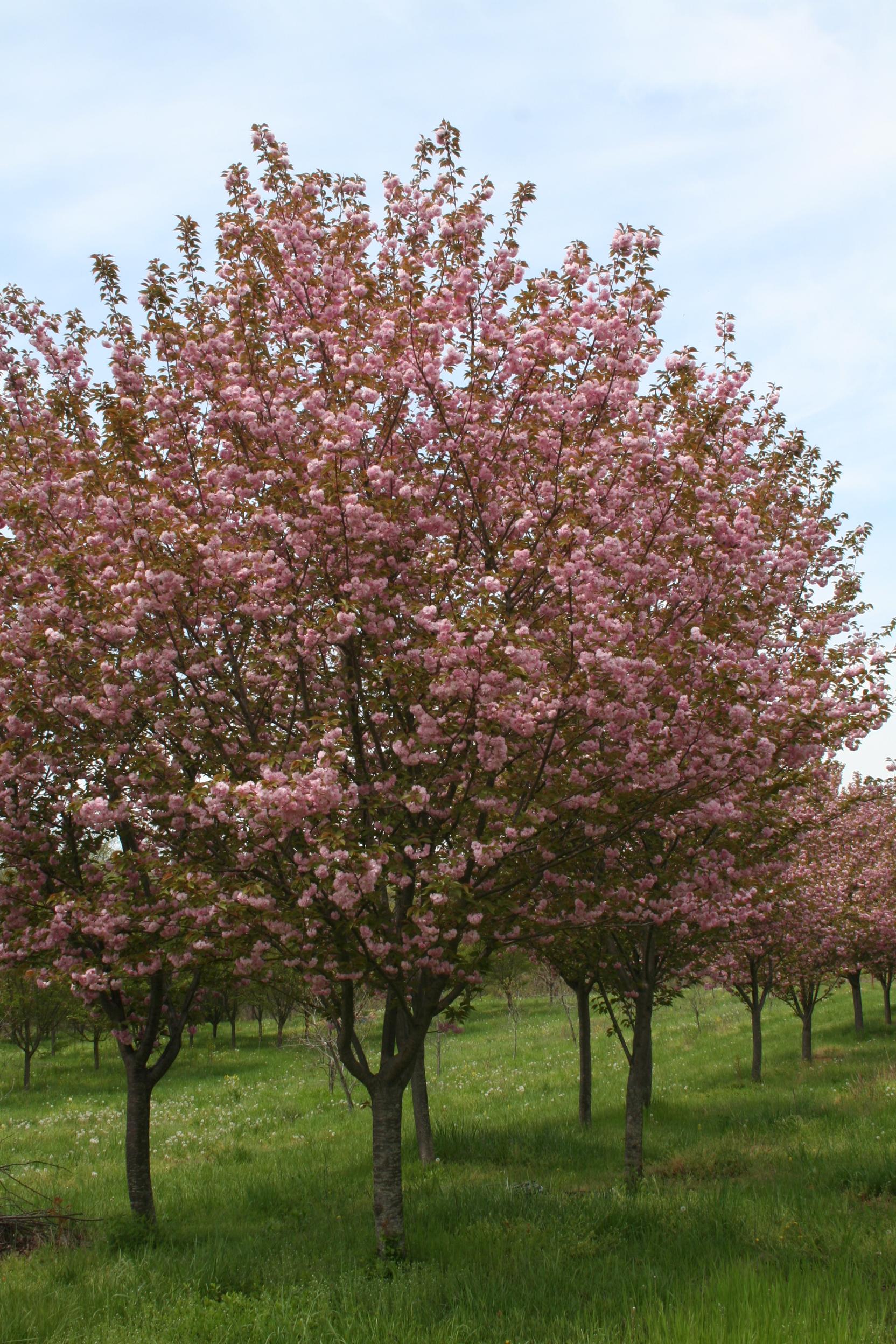 Kwanzan Cherry - Shade Tree Farm | Shade Tree Farm