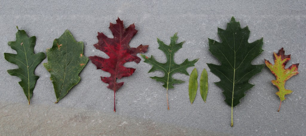 Oaks leaf collection