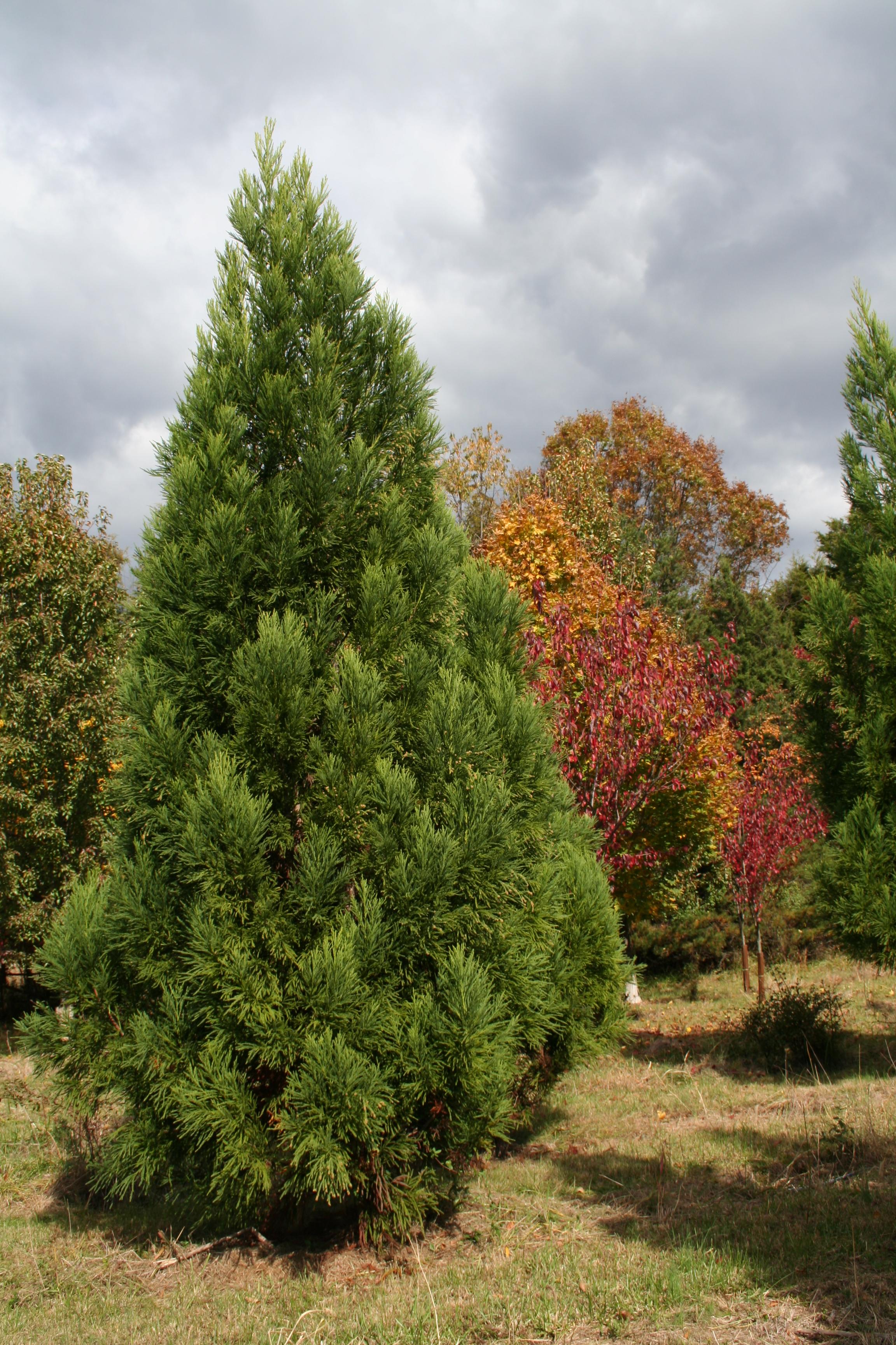 Newly Planted Specimen Tree Care
