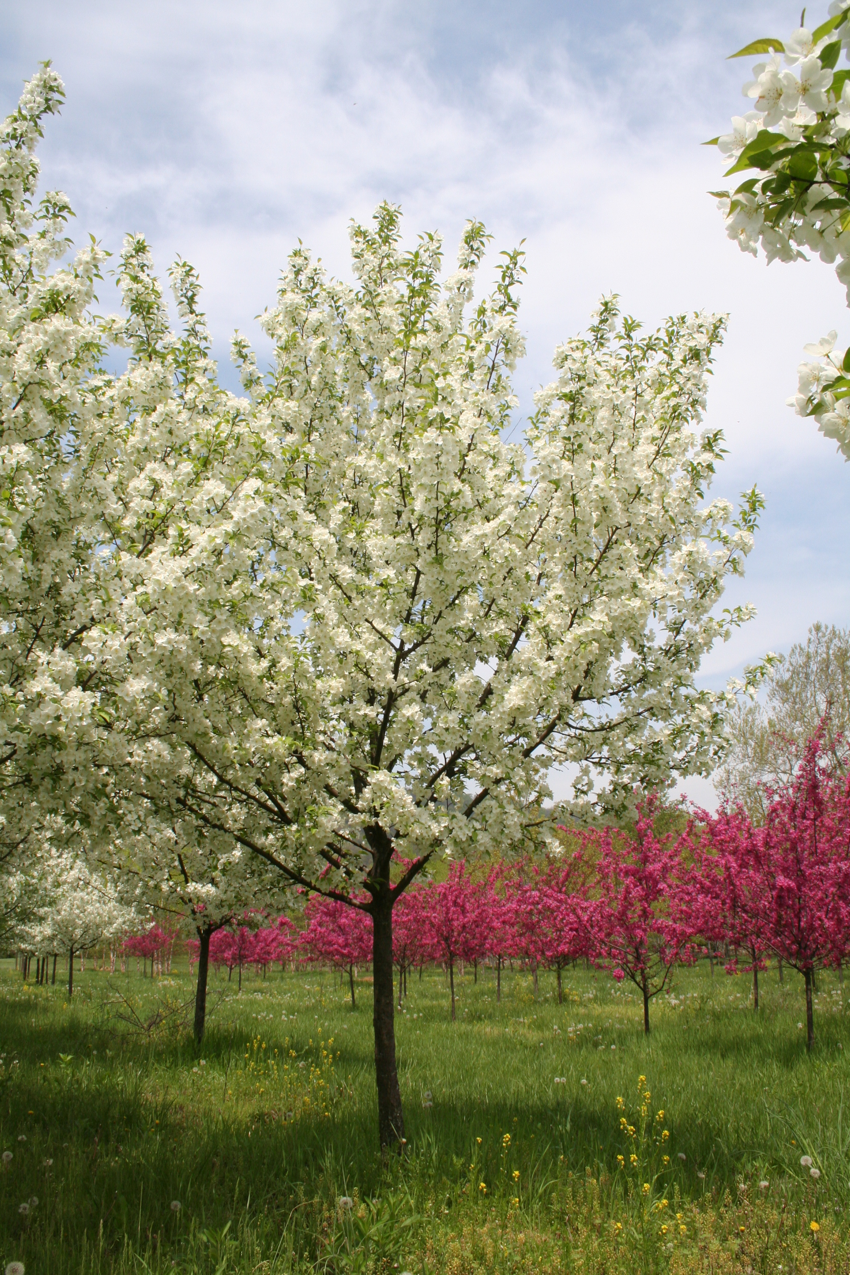 Flowering tree snowdrift crabapple malus x 39 snowdrift for Crabapple tree
