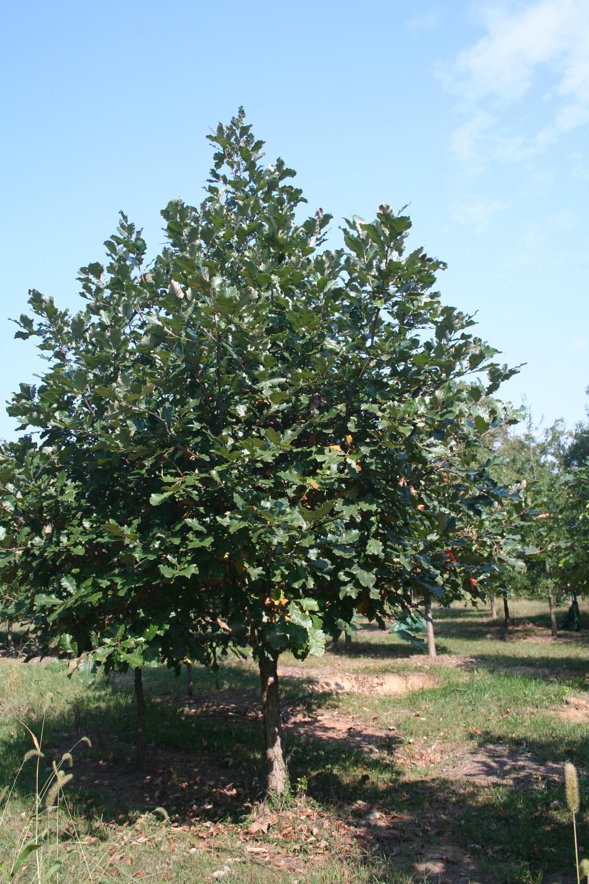Swamp white oak shade tree farm