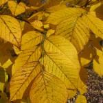 Yellowwood fall foliage