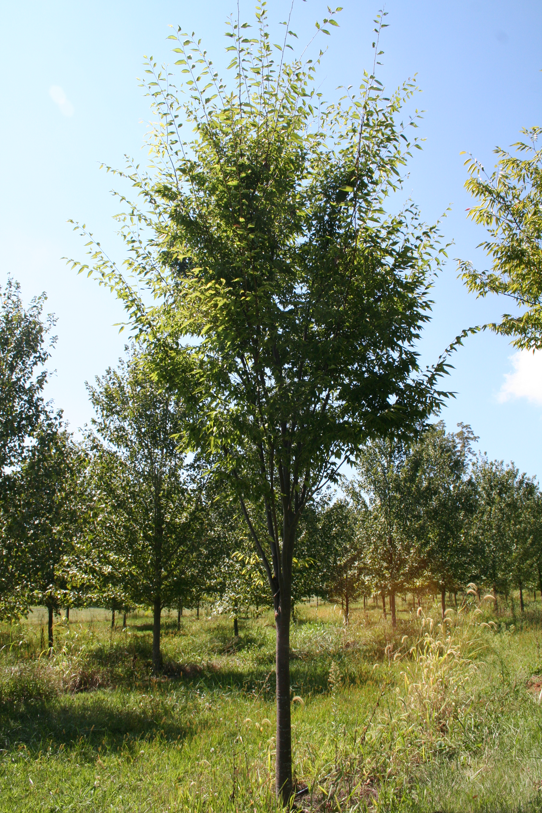 Shade Tree Zelkova Zelkova Serrata Shade Tree Farm