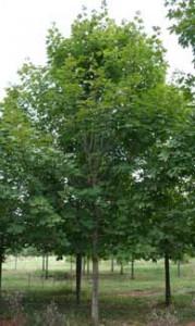 Shade Tree Green Mountain Sugar Maple Acer Saccharum 39 Green Mountain 39 Shade Tree Farm