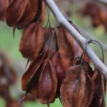 Carolina Silverbell fruit detail