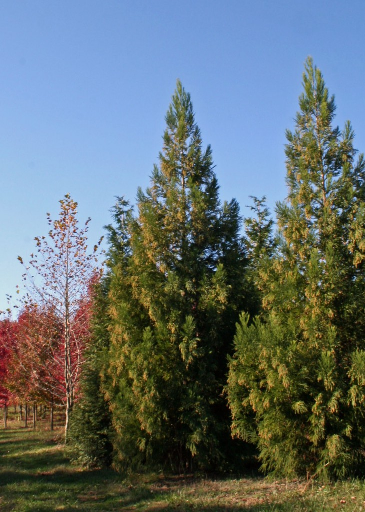 Average Interest Rate >> Trees We Love - Yoshino Cryptomeria | Shade Tree Farm