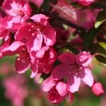 Prairiefire crabapple flower