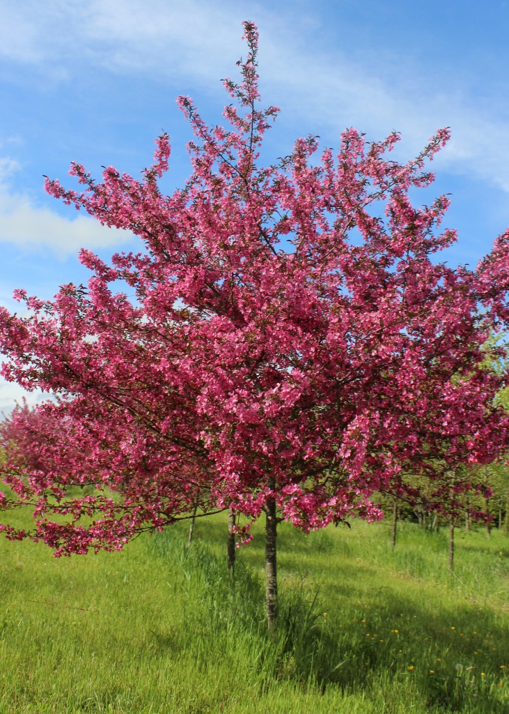 This month 39 s feature tree crabapple shade tree farm for Crabapple tree