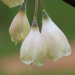 Carolina Silverbell flower detail pic two