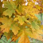 Legacy Sugar Maple foliage