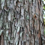 Bald Cypress bark