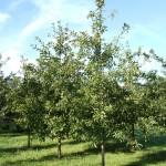 Shingle Oak entire