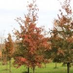 Shingle Oak fall color