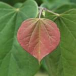 app red redbud leaf