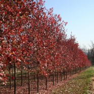October Glory Red Maple