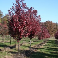 Brandywine Red Maple
