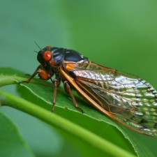Tips for Controlling Cicada Damage to Trees