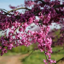 Trees We Love – Redbud