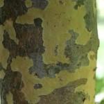 Kousa Dogwood bark