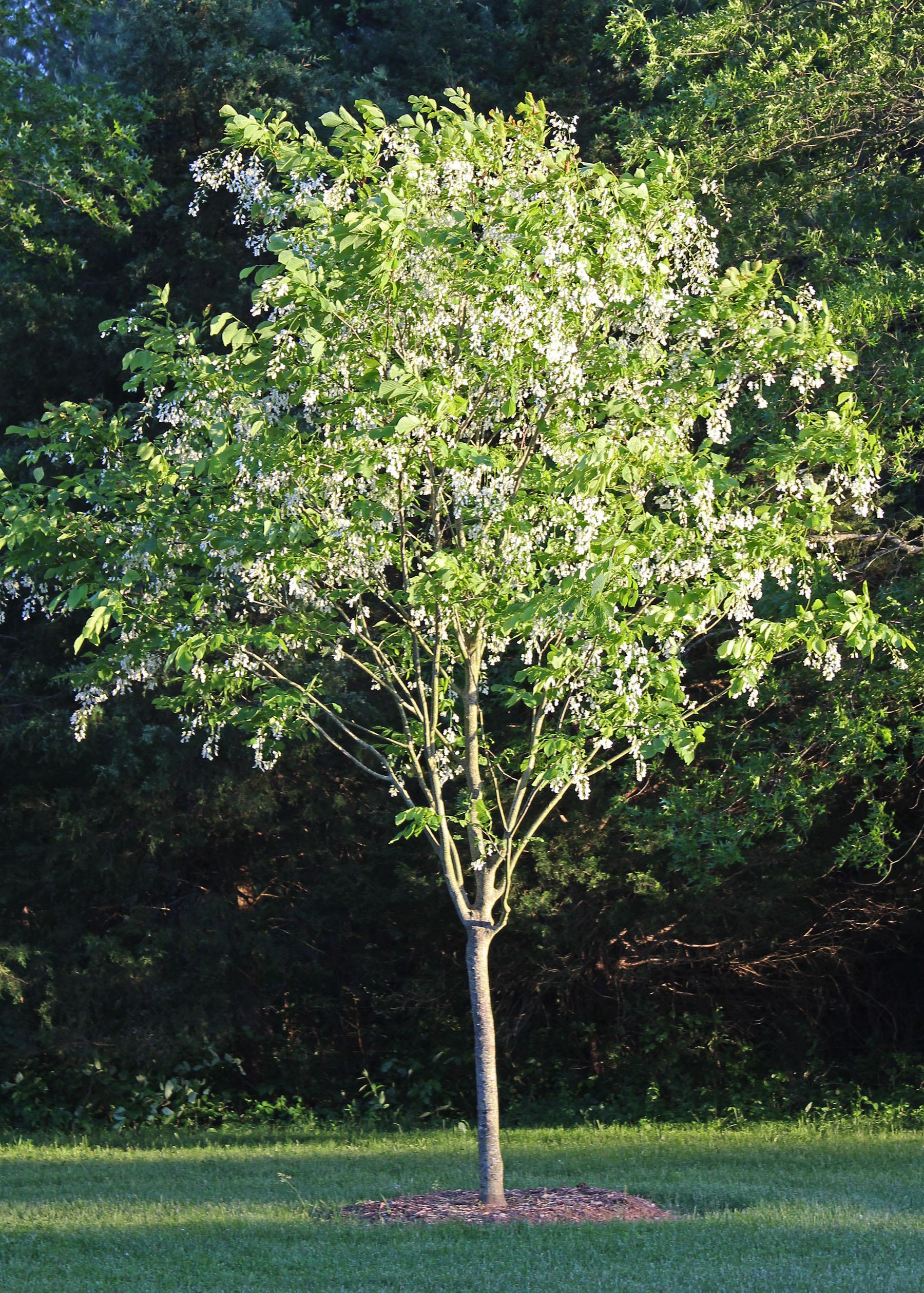 Flowering Tree Yellowwood Cladrastis Kentukea Shade