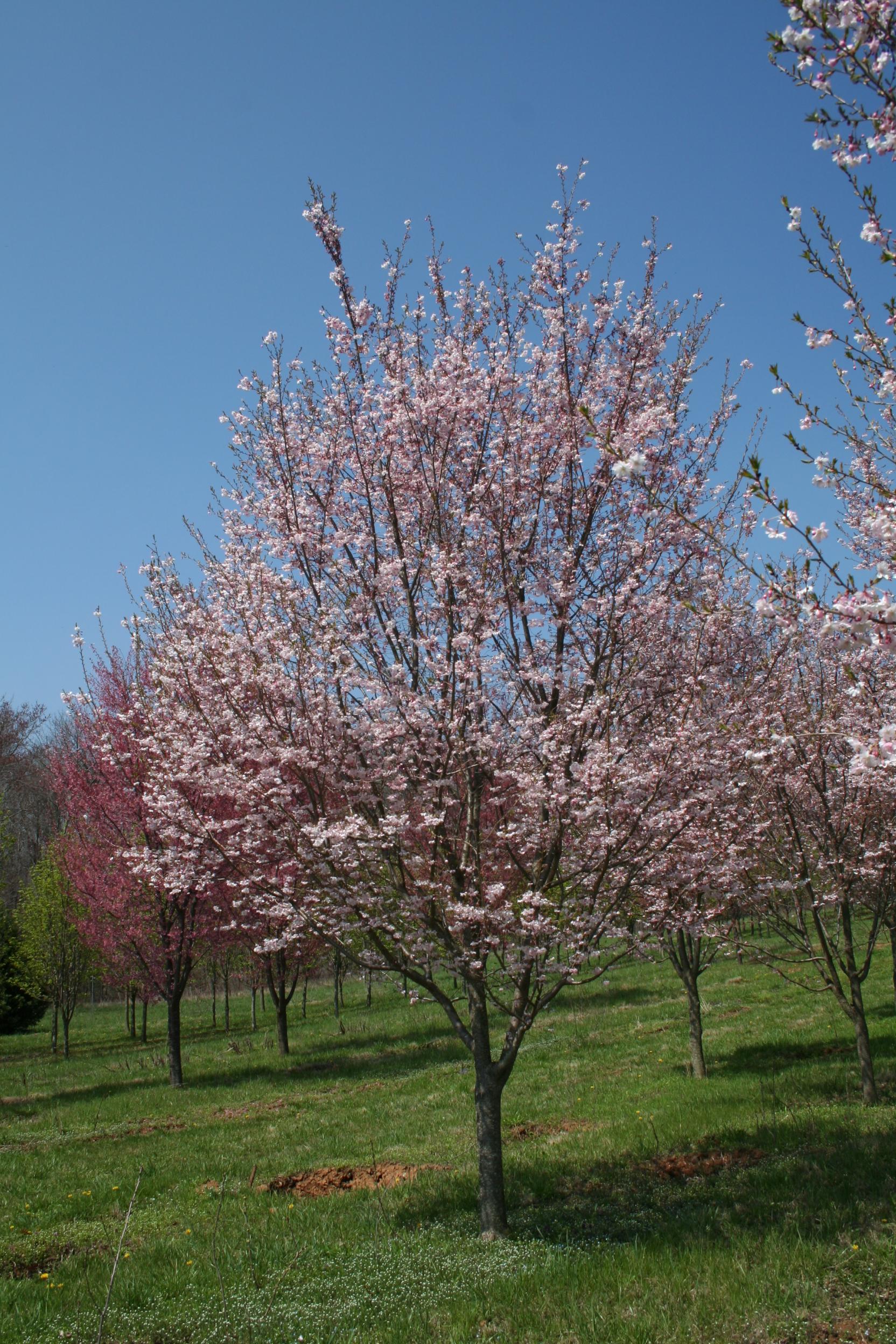 Autumnalis Cherry Shade Tree Farm Shade Tree Farm