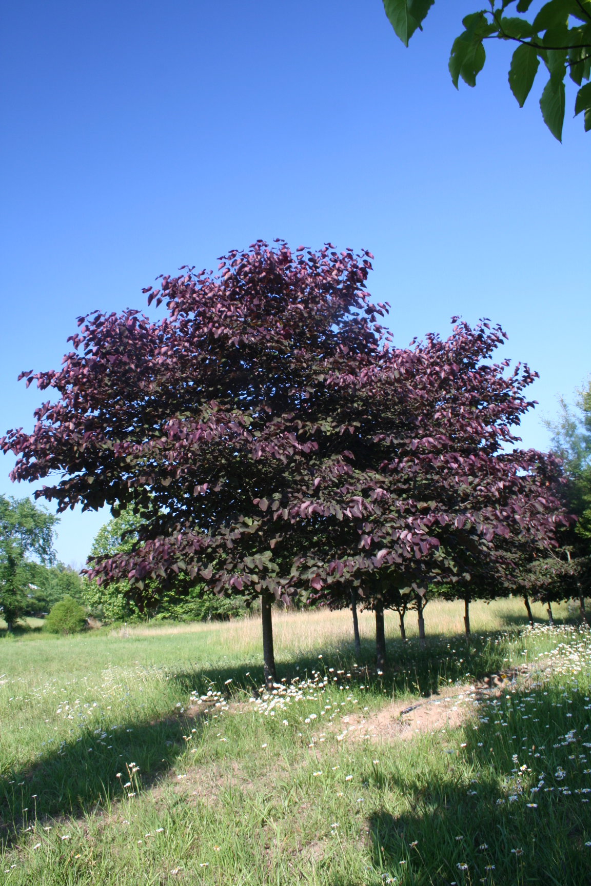 Flowering Tree Forest Pansy Redbud Cercis Canadensis Forest