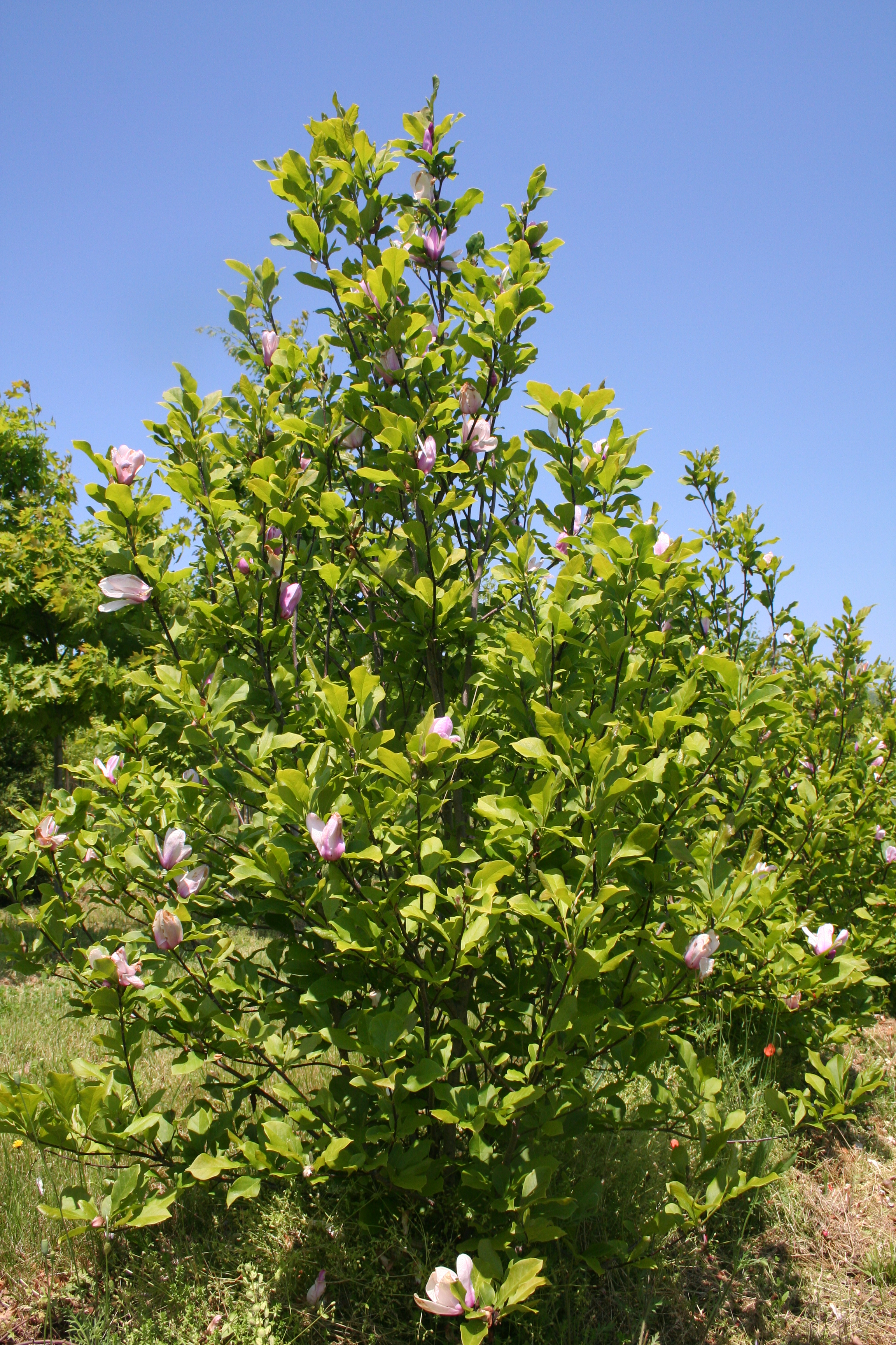 Flowering Tree Jane Magnolia Liliiflora Shade Farm