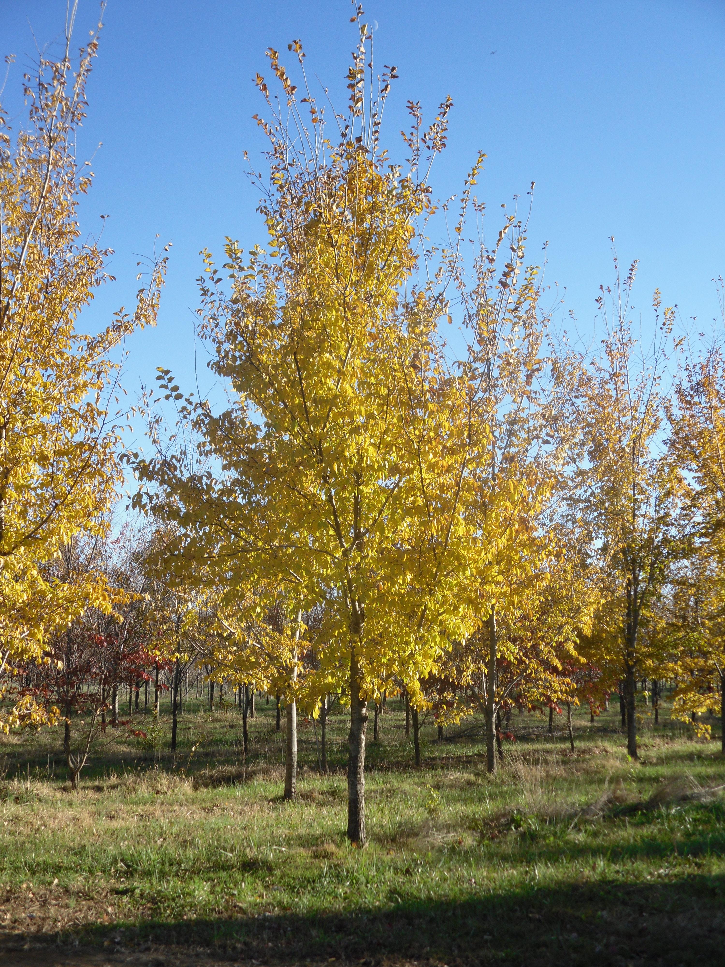 Patriot Elm Ulmus X Patriot Shade Tree Farm