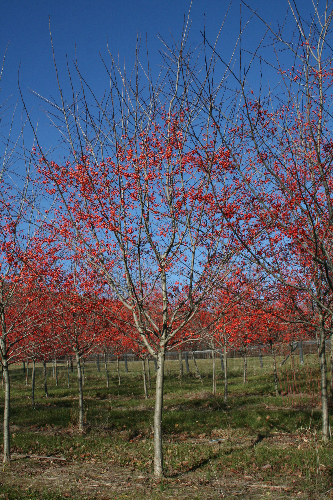 shade tree winter king hawthorn crataegus viridis
