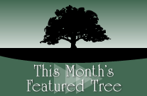 This Month's Feature Tree – Crabapple