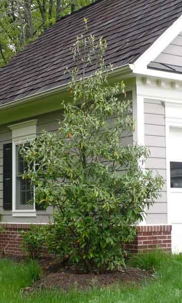 Flowering Tree Sweetbay Magnolia Magnolia Virginiana Shade