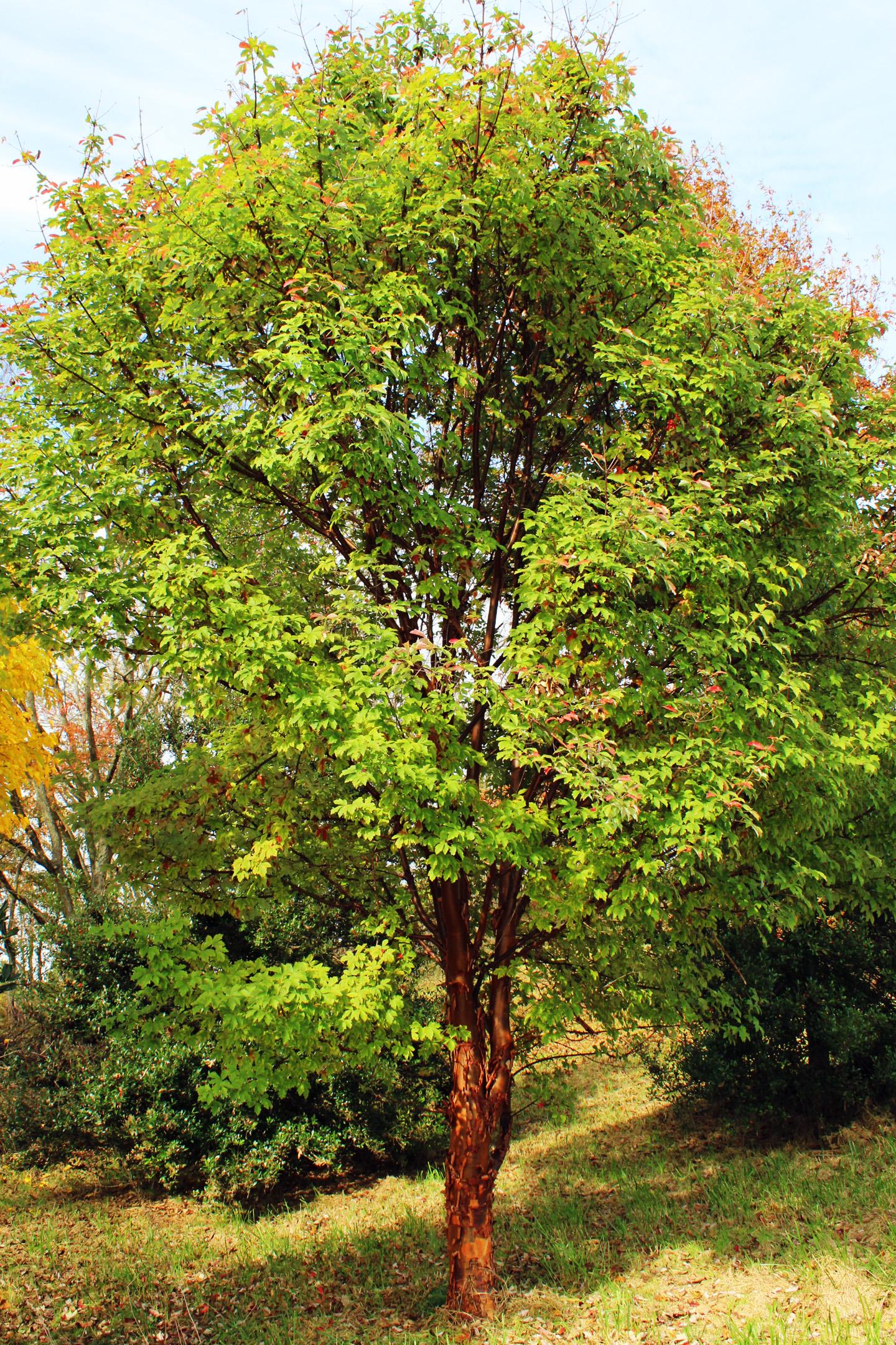 Trees We Love - Paperbark Maple