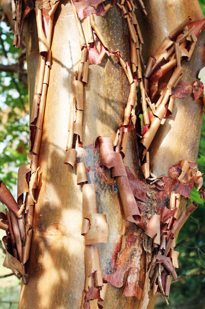 Paperbark bark detail