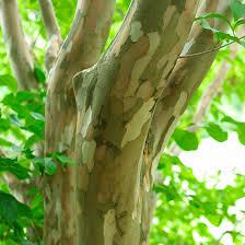 Japanese stweartia bark