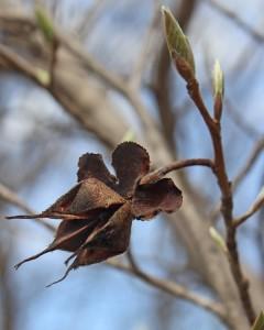 Stewartia seed head