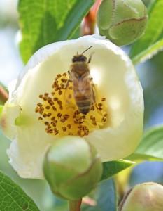 Honeybee enjoying the Stewartia.