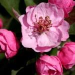 Brandywine Crabapple flower detail