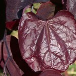 Forest Pansy Redbud foliage