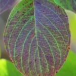Dogwood leaf detail